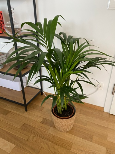Picture of Kentia Palm