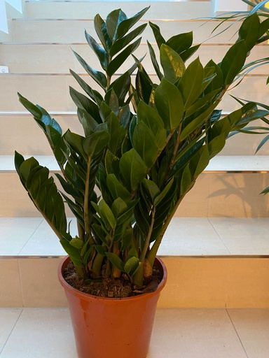 Picture of Zamioculcas