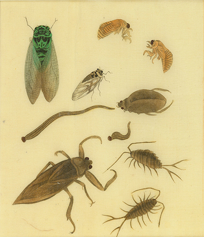Various Insects, drawing.