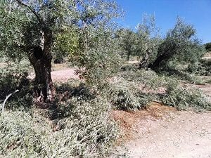 The olive grove under pruning time, Sierra Magina, Spain