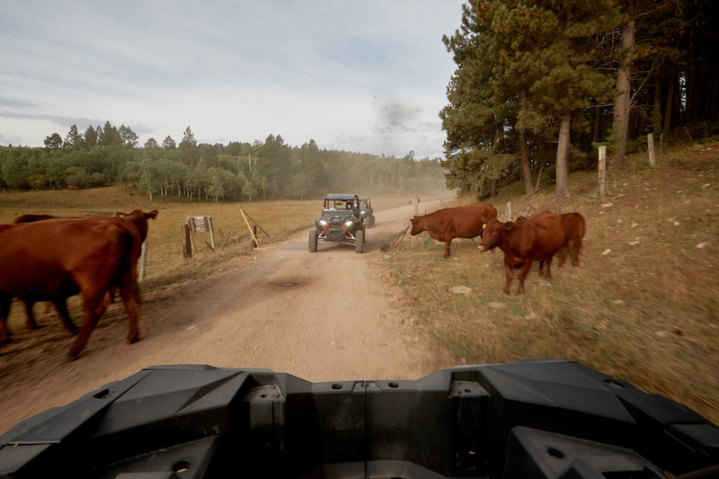 RZRs-driving-by-cows-cement-ridge-lookout