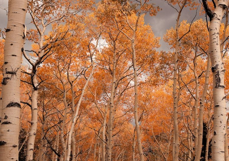 fall-colored-birch-trees