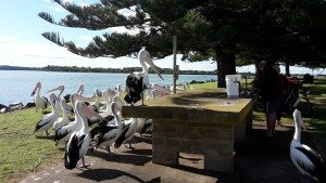 Pelican reunion at Port Macquarie