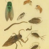 Various Insects, drawing., Photo: Courtesy of the Allen Memorial Art Museum