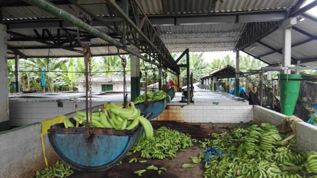 Bananas being weighed at sorted at a banana farm just out of Apartadó.