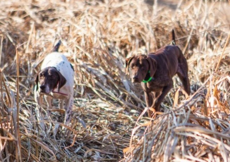 dogs hunting