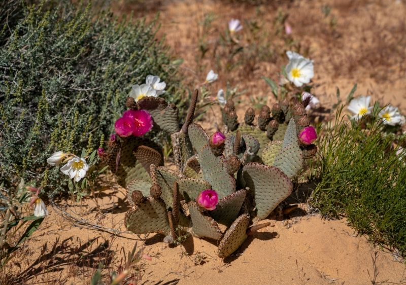 pink-and-white-flowers-blooming-from-a-cactus