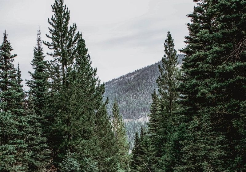 tall-trees-along-a-mountain-side
