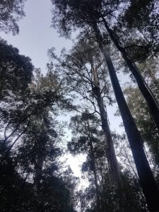 Tall tree forest in Tasmania, Mount Field National Park