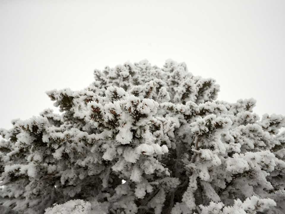 thick snow on pine tree