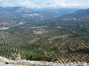 Olive groves, Belmez de Moraleda, our Cortija away on the hill from Solera, Sierra Magina, Spain