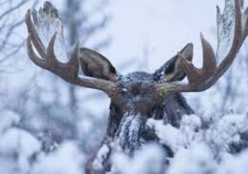 close-up-of-a-moose-in-the-snow