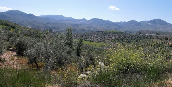 From the Camino the view through the olive grove to the village of Solera on the far hill, Sierra Magina, Spain