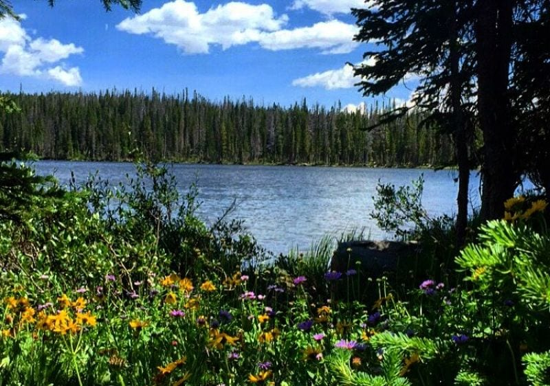 flower filled meadow by a lake surrounded by tall pine trees