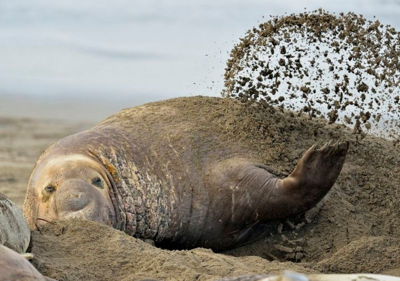 elephant seals coverd in sand